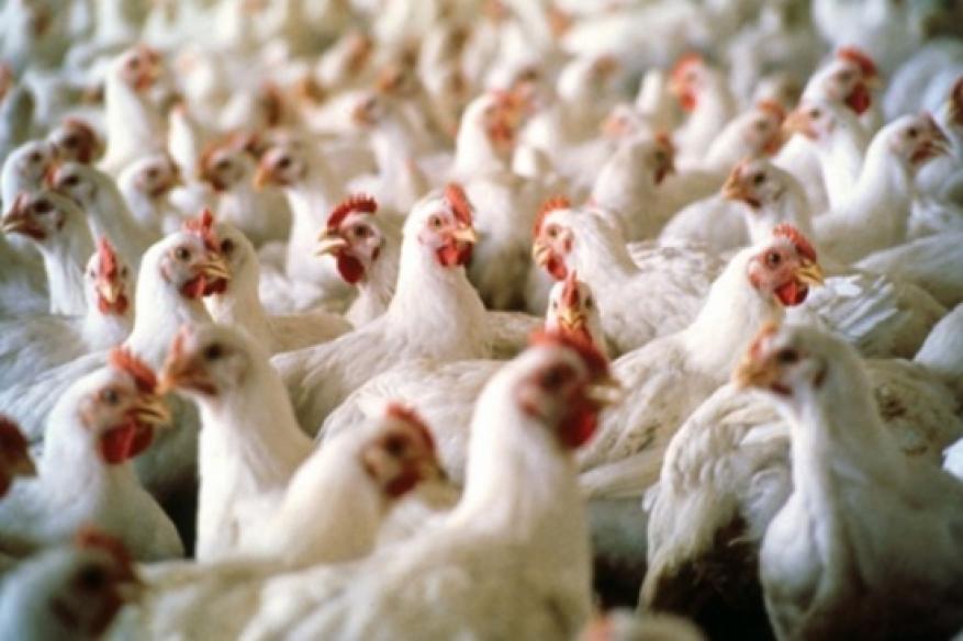 إيران تعدم 25 مليون دجاجة بسبب إنفلونزا الطيور
