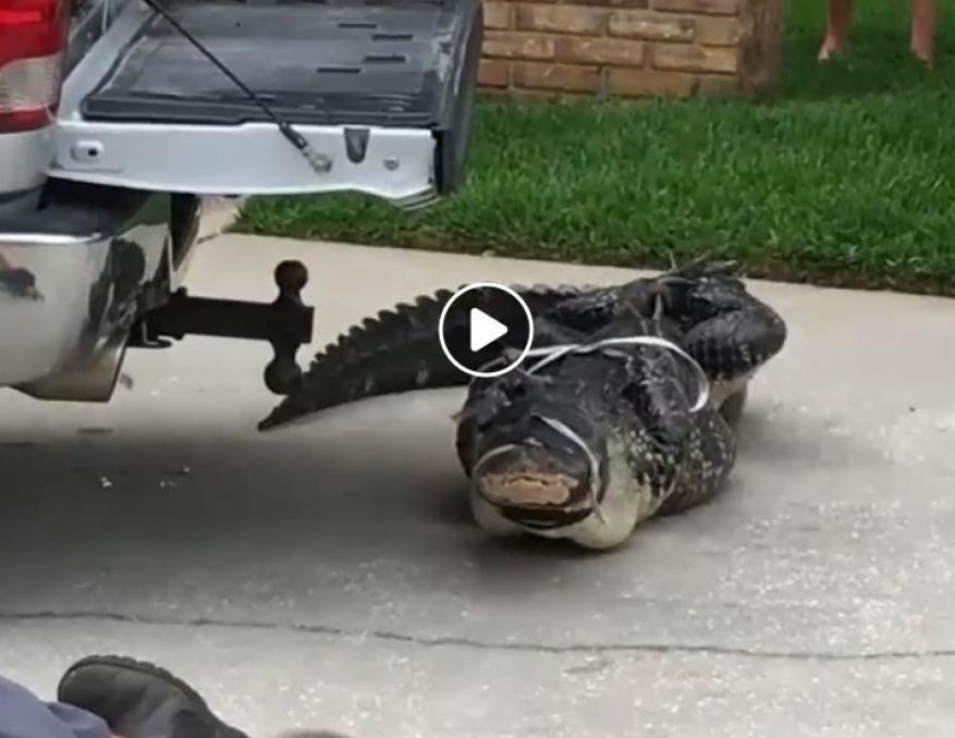 شاهد: تمساح عنيد يضرب رجلا ويفقد آخر وعيه