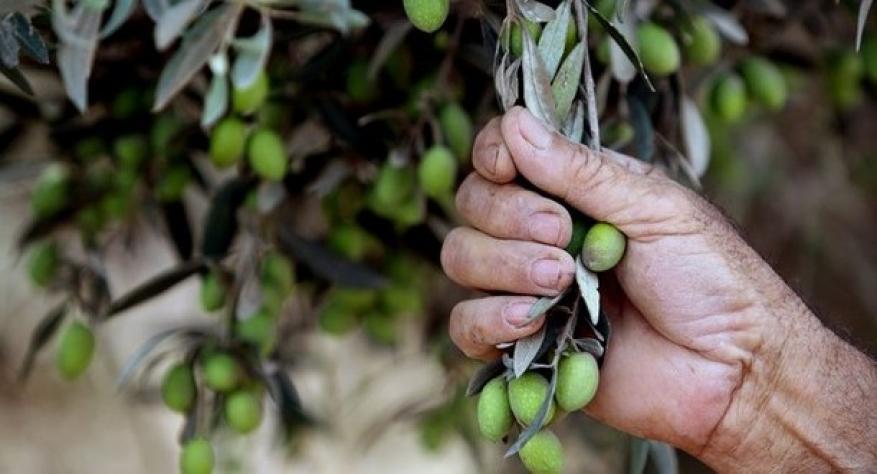 إعلان موعد قطف ثمار الزيتون في قطاع غزة